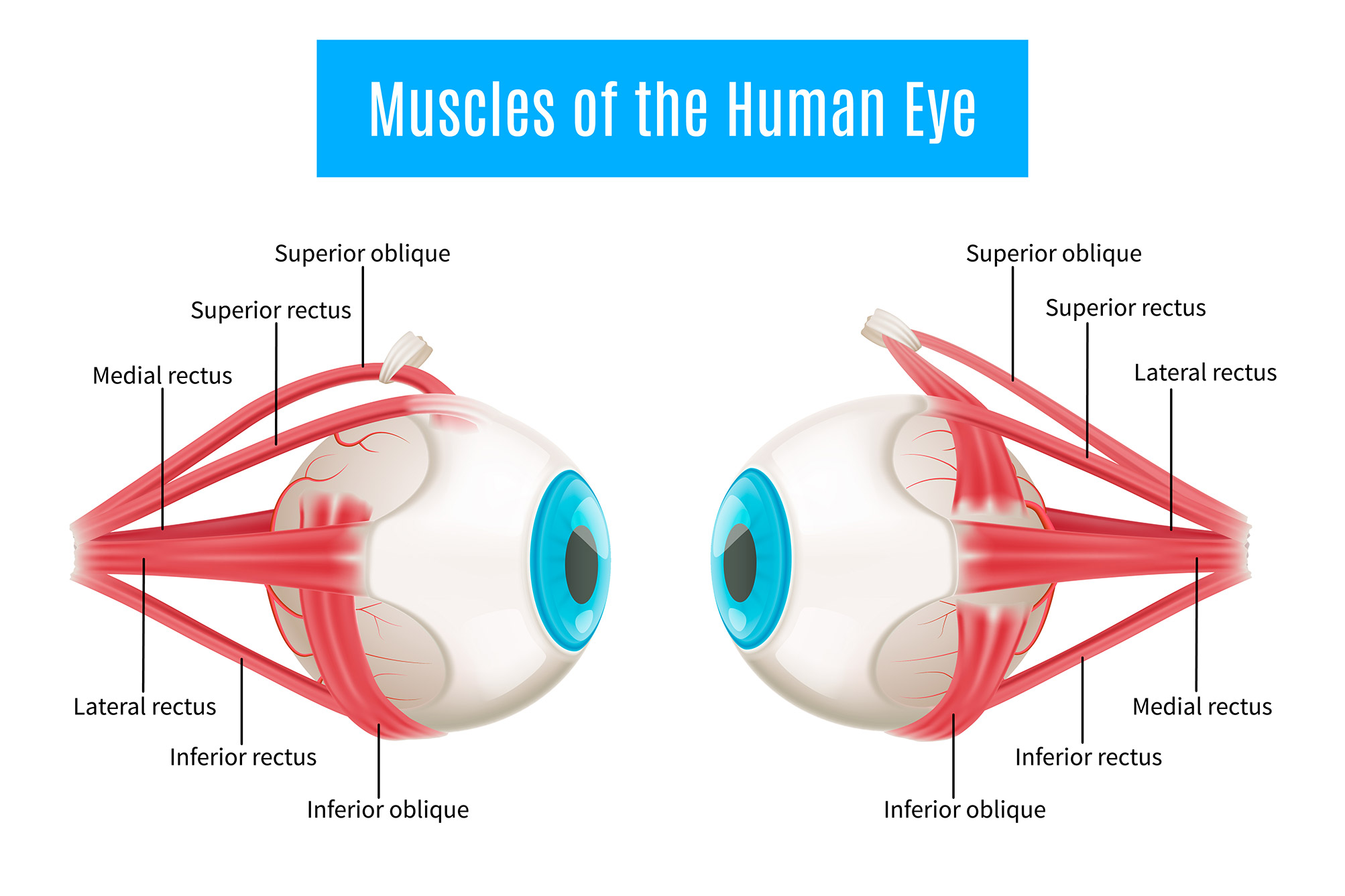 Diagram of human eye anatomy showing the extraocular muscles